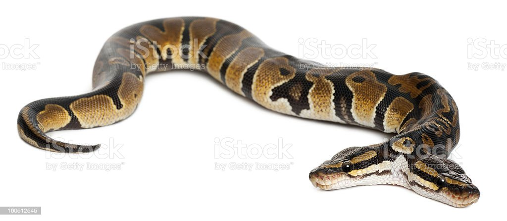 Two headed Royal Python, one year old, white background. stock photo