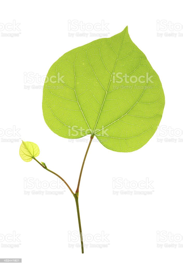 Two heart-shaped leaves isolated royalty-free stock photo