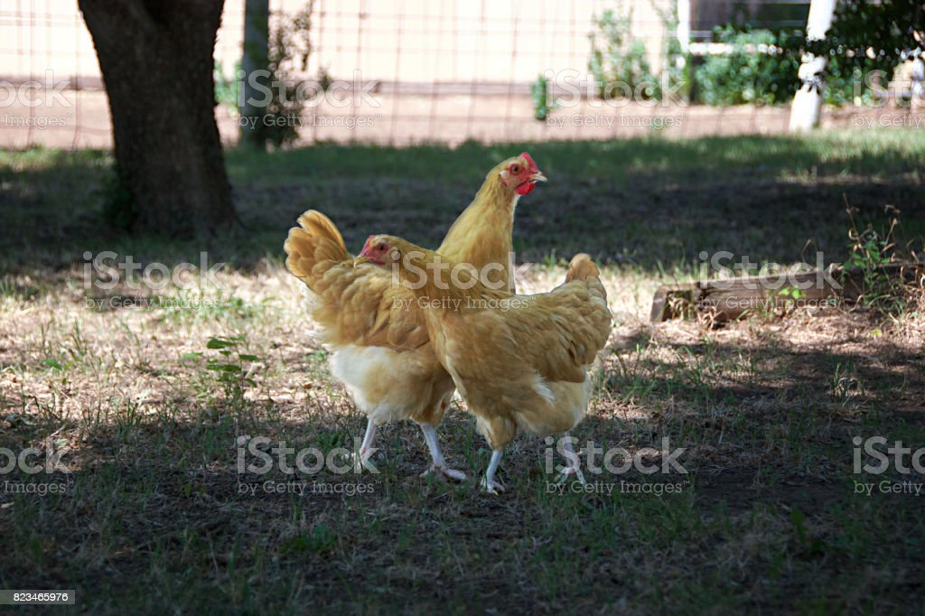 Two Hen in Grass stock photo