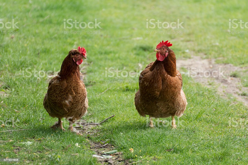 Two hens on the green grass chattering stock photo
