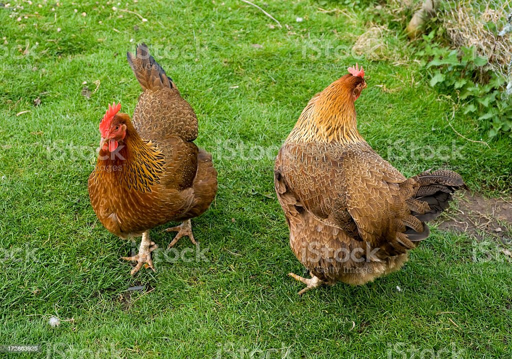 Two hens royalty-free stock photo