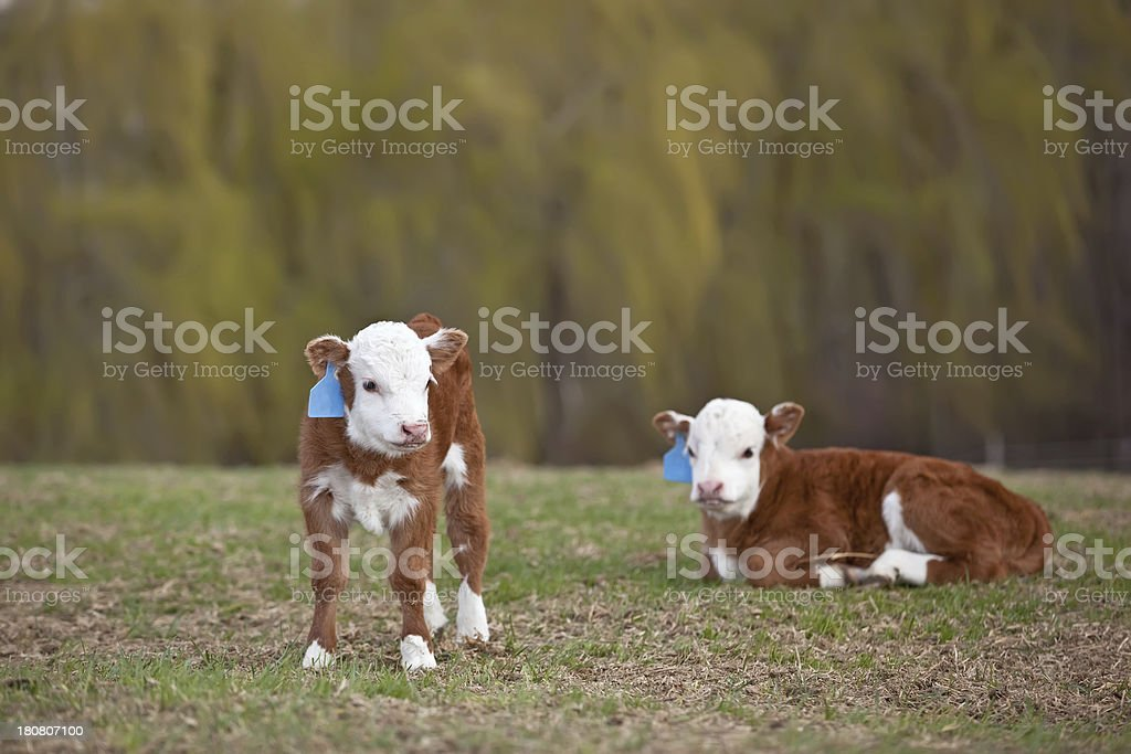 Two Hereford Calves in Pasture royalty-free stock photo