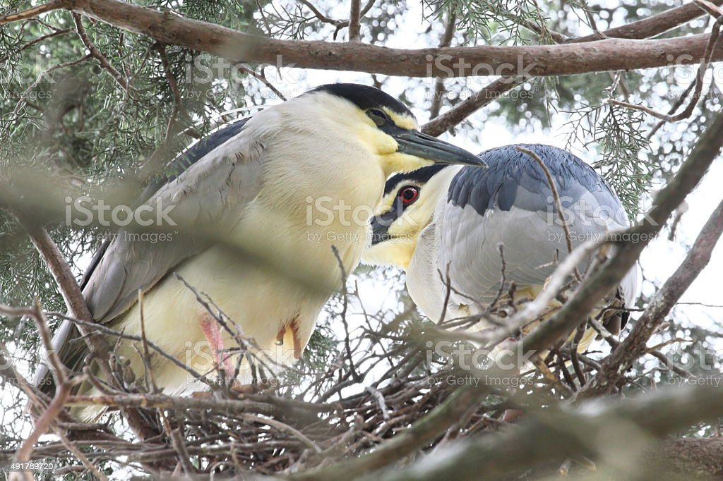 two herons stock photo