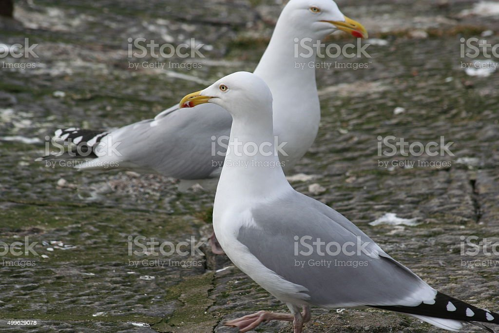 Two herring gulls standing stock photo