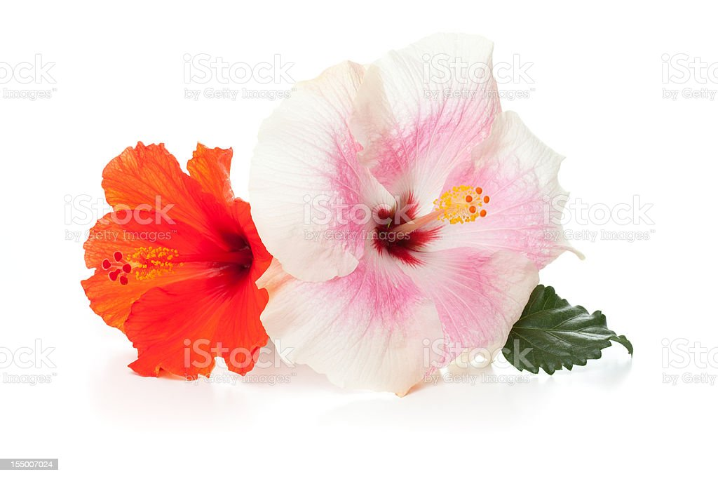 Two hibiscus flowers against a white background stock photo