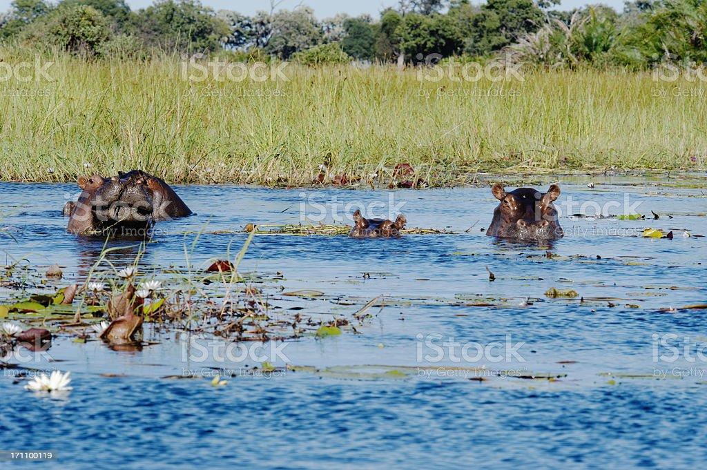 Two hippos and calf in Xigera Concession,Okavango Delta,Botswana stock photo
