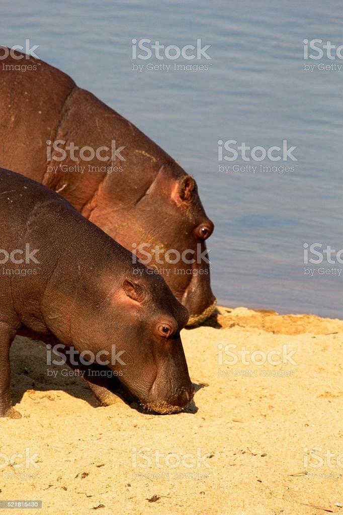 Two hippo's stock photo
