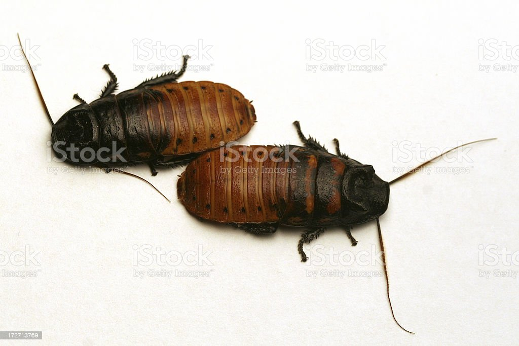 Two Hissing Roaches royalty-free stock photo