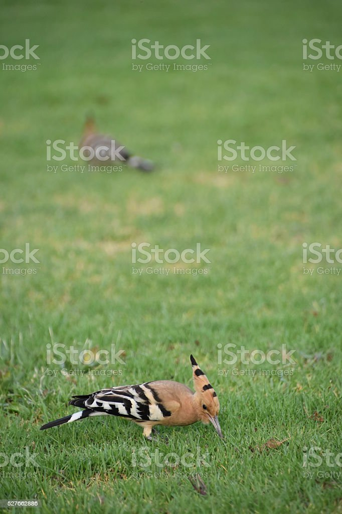 Two Hoopoe stock photo