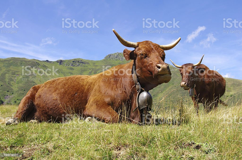 Two horned brown cows with cowbell on a mountainside stock photo