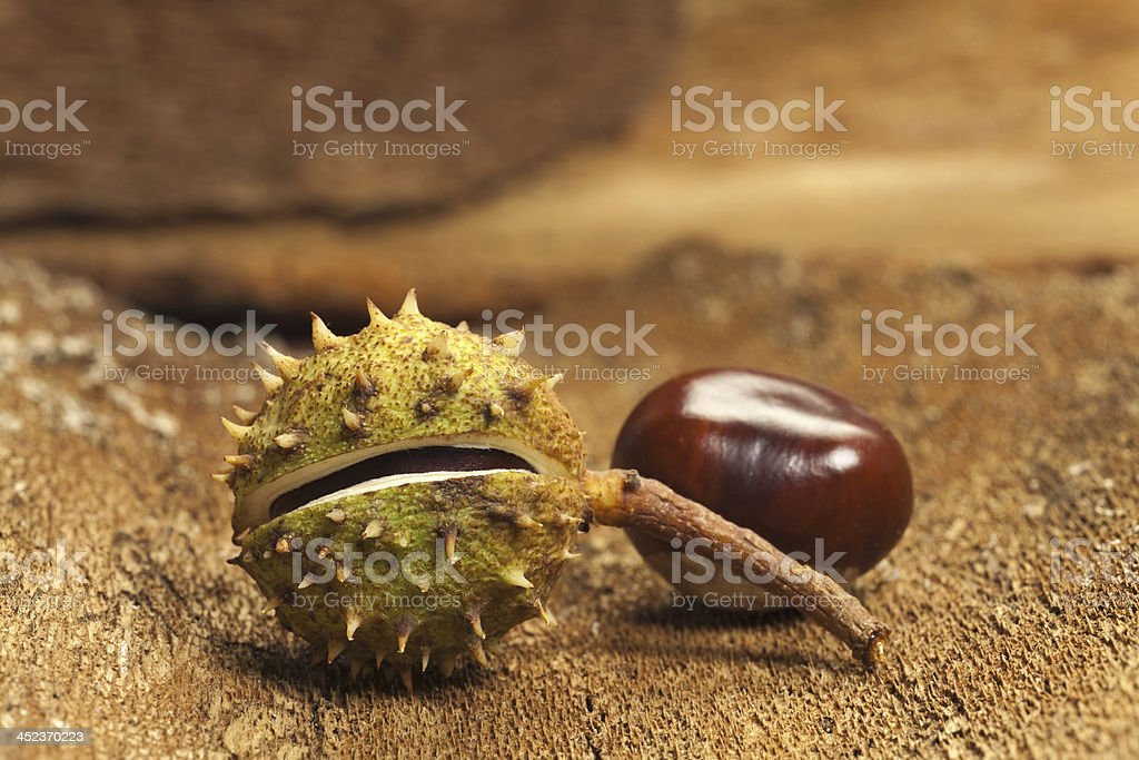 Two Horse chestnuts royalty-free stock photo