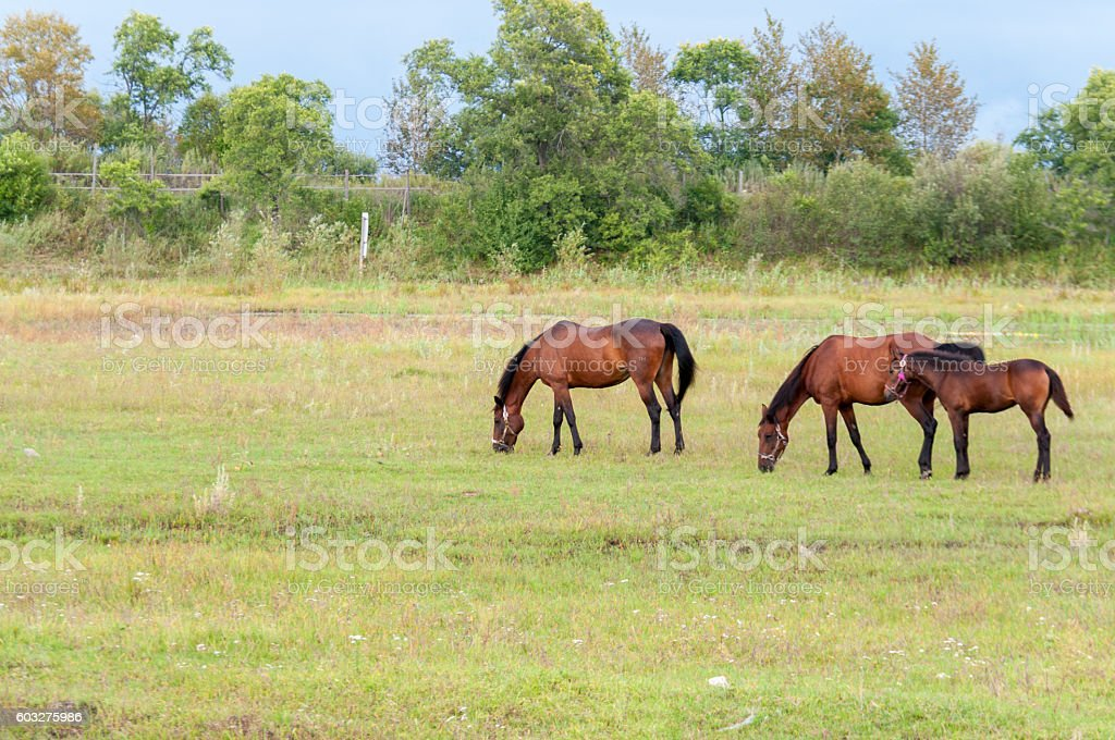 Two horses and a foal graze in the meadow stock photo