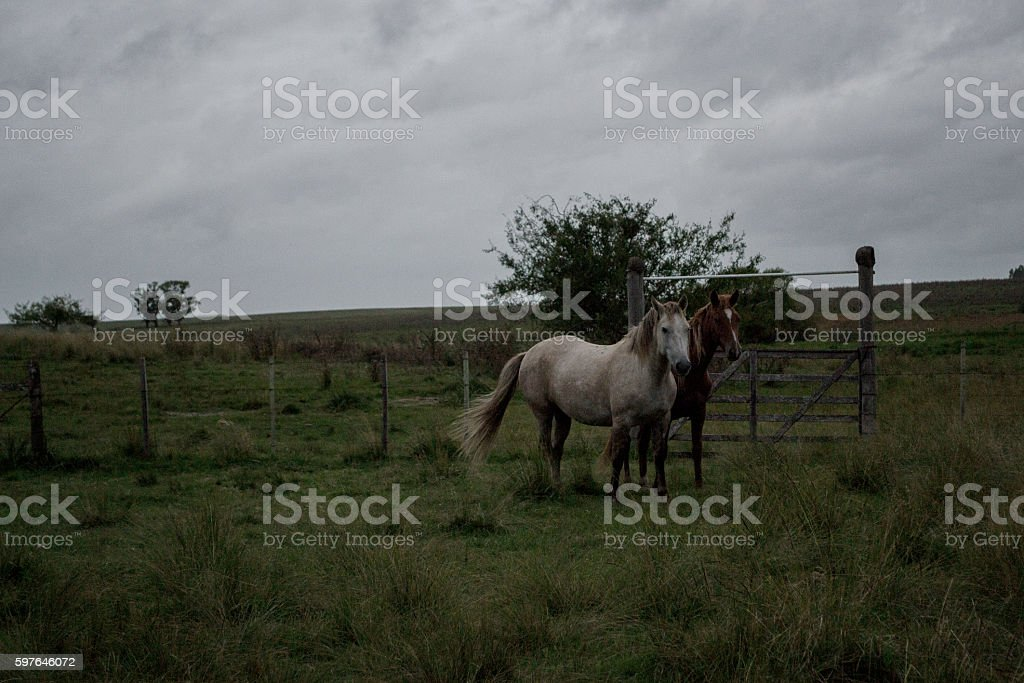 two horses at gray field shield stock photo