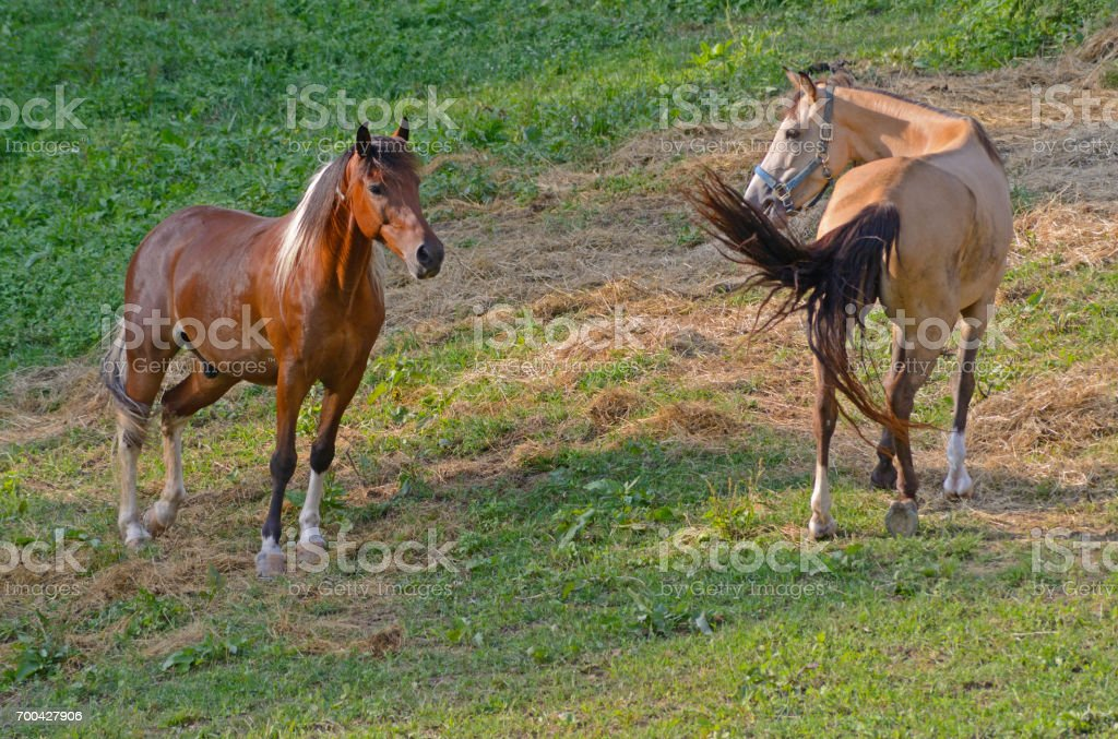 Two horses communicating with each other. stock photo