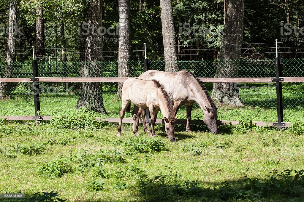 two horses eat the grass, Bialowieza National Park stock photo