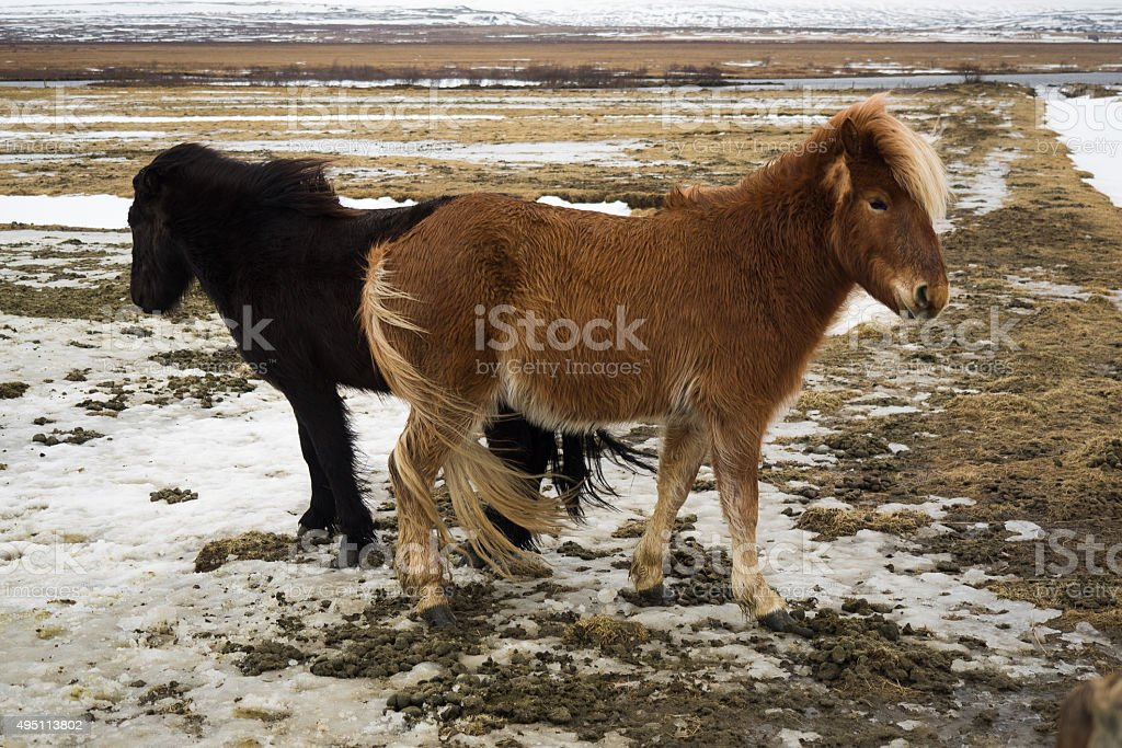 Two horses fighting in rural Iceland stock photo
