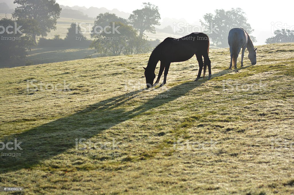 Two horses grazing at dawn stock photo