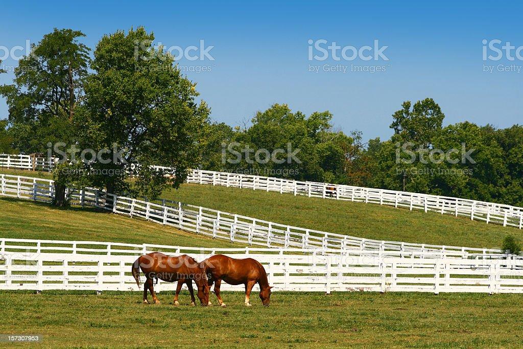 Two horses grazing stock photo