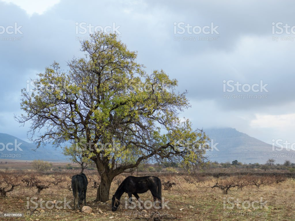 Two Horses Grazing Under Almond Tree stock photo