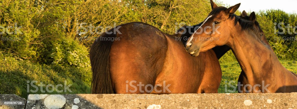 Two horses grooming each other stock photo