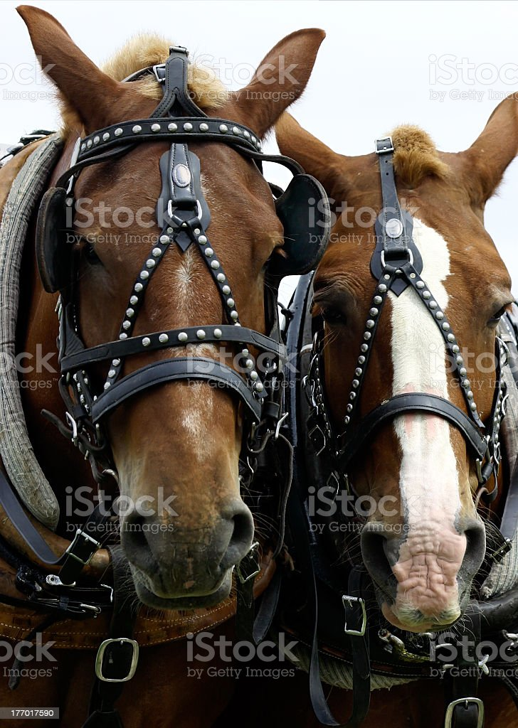 Two Horses' Heads stock photo