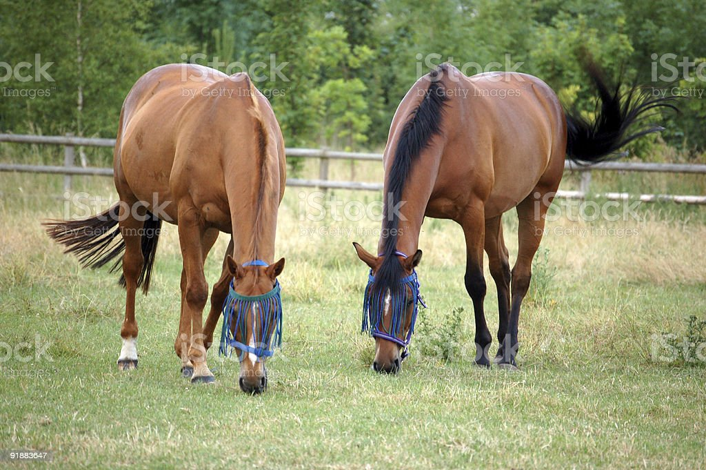 Two horses in a filed eating grass stock photo