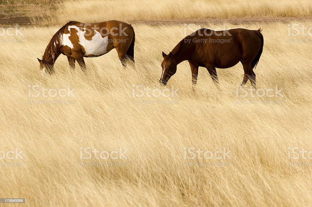 Two horses in hayfield royalty-free stock photo