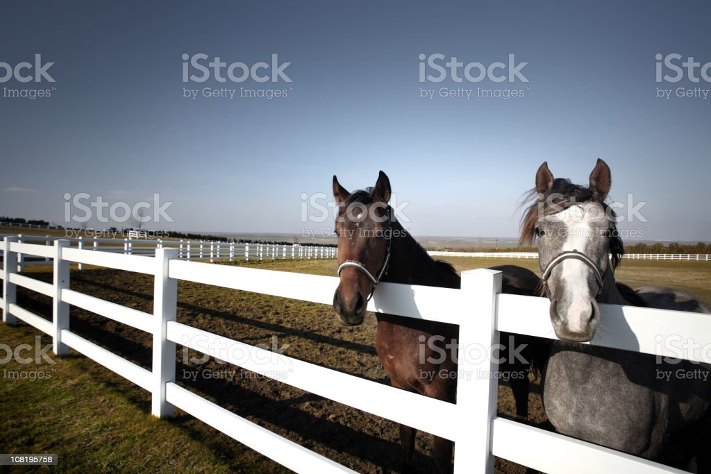 Two Horses in Pasture royalty-free stock photo