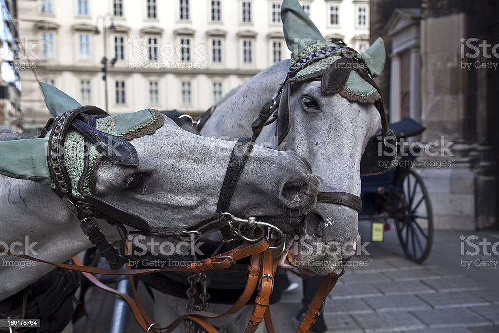 two horses in vienna stock photo