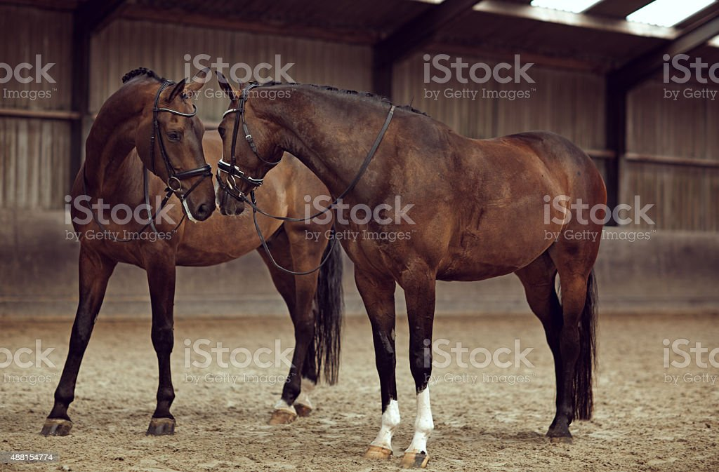 two horses looking at each other stock photo