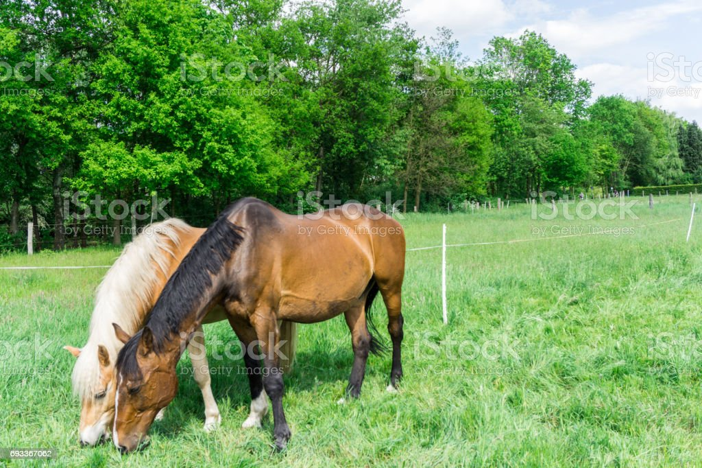 Two horses on a meadow while browsing stock photo