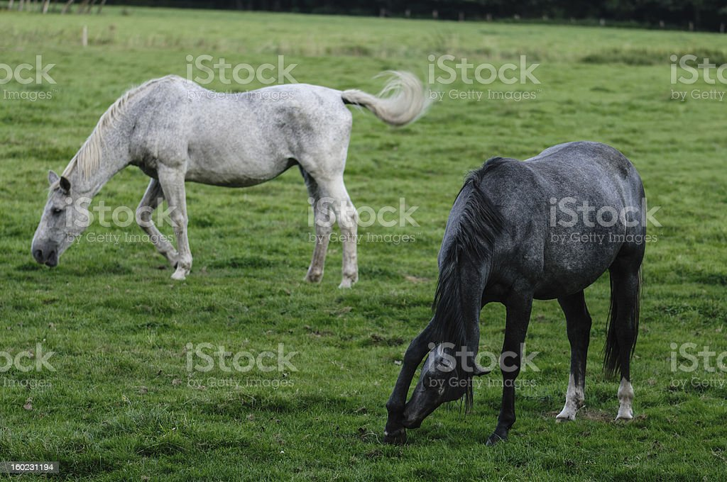 Two horses on pasture royalty-free stock photo