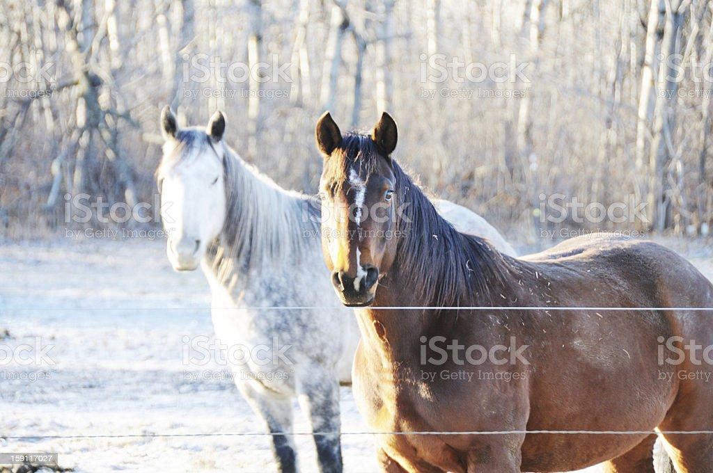 Two Horses royalty-free stock photo
