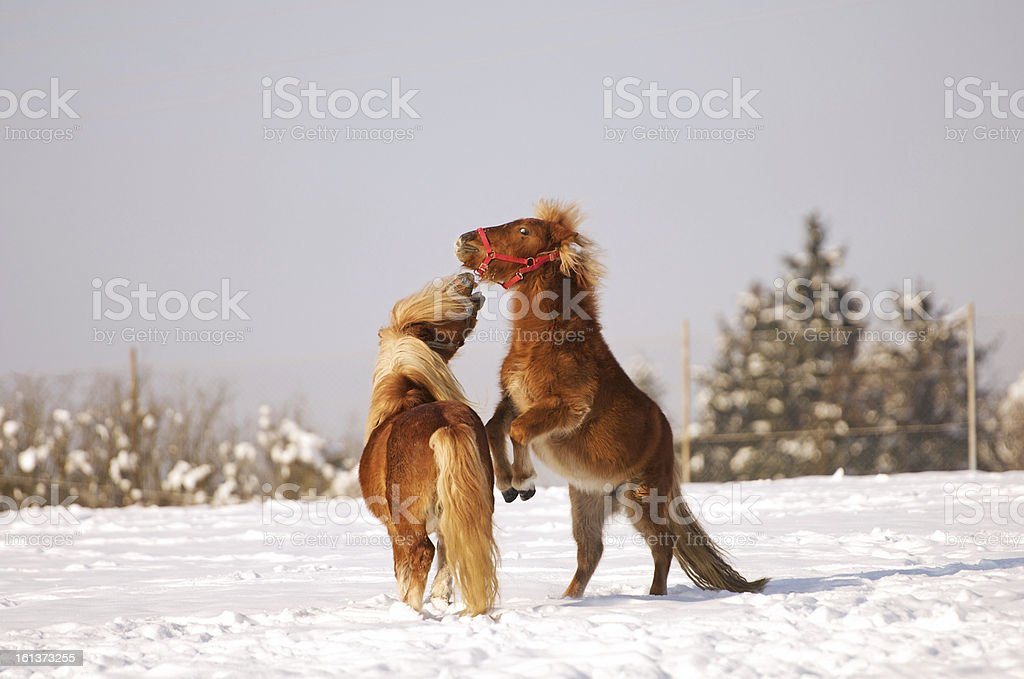two horses playing in the snow royalty-free stock photo