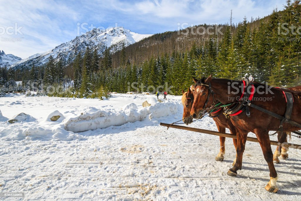 Two horses rest after transporting tourists in sleigh carriages to Morskie Oko lake in winter, High Tatra Mountains, Poland stock photo