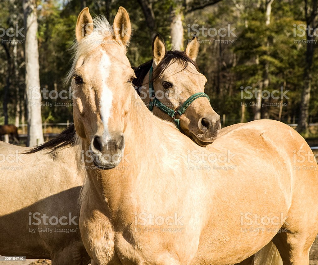Two horses standing together stock photo