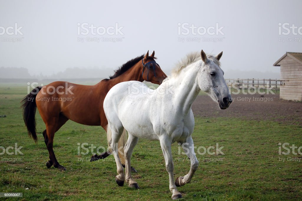 Two Horses trot out of the fog royalty-free stock photo