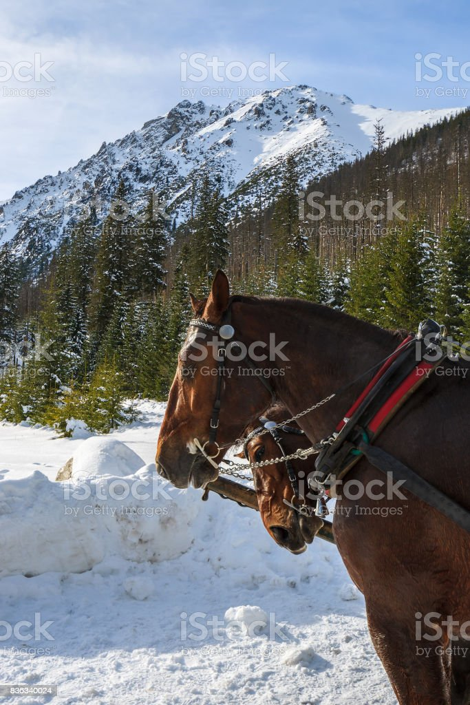 Two horses which transport tourists in sleigh carriages to Morskie Oko lake in winter, High Tatra Mountains, Poland stock photo