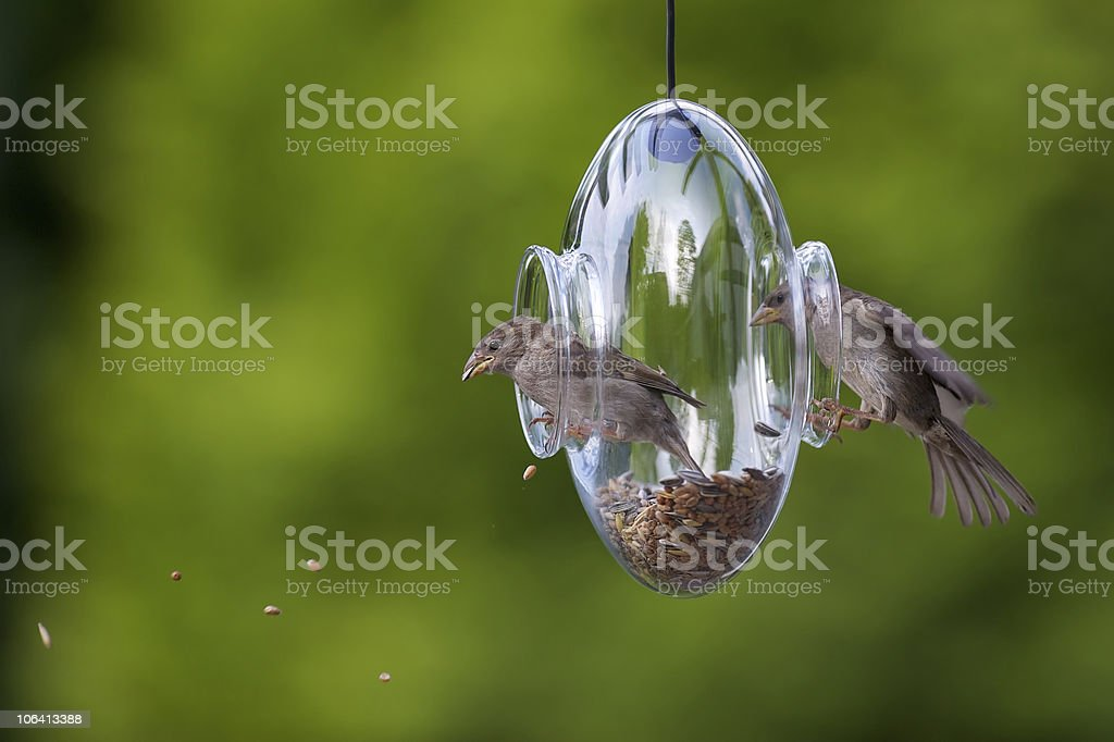 Two house sparrows inside a transparent feeder stock photo