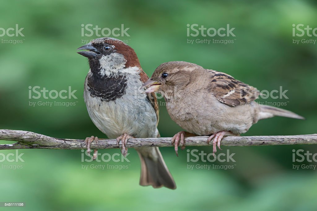 Two House Sparrows stock photo