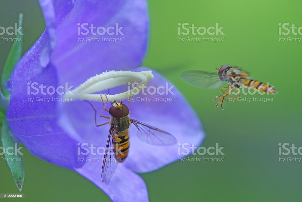 Two hover fly`s stock photo