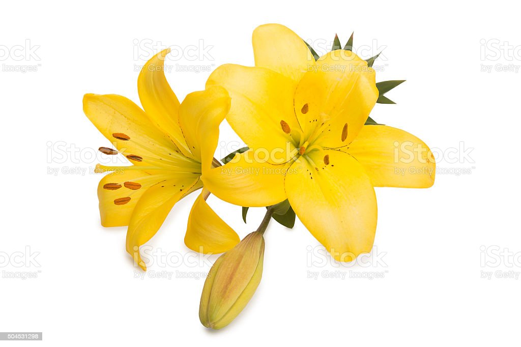 two huge yellow lilies and button stock photo