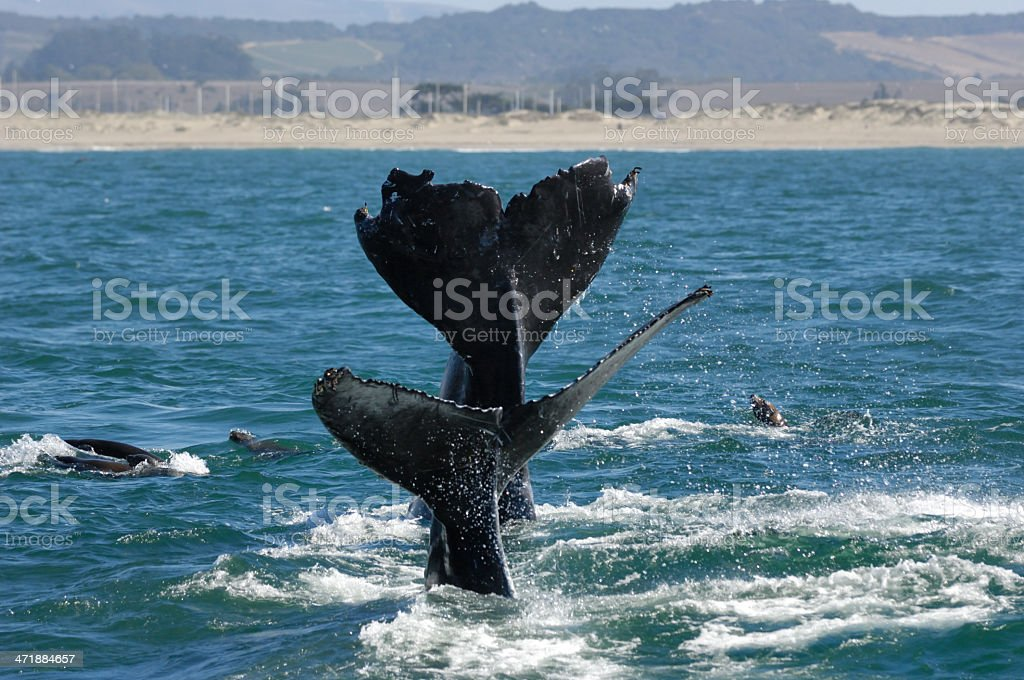 Two Humpback Whales with Tails Raised Above Ocean Surface royalty-free stock photo