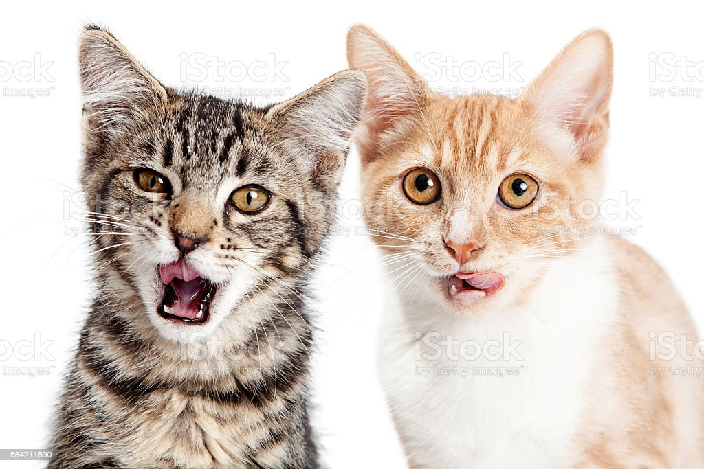 Two Hungry Little Kittens on White stock photo