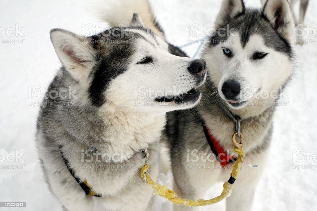 Two husky dogs while sledding on snow stock photo