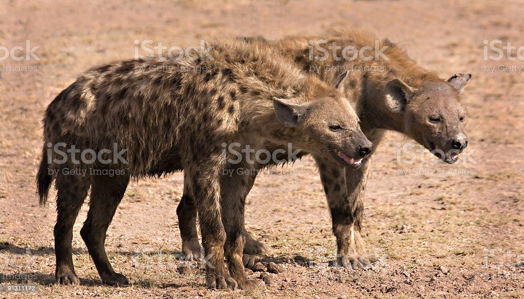 Two hyenas stock photo