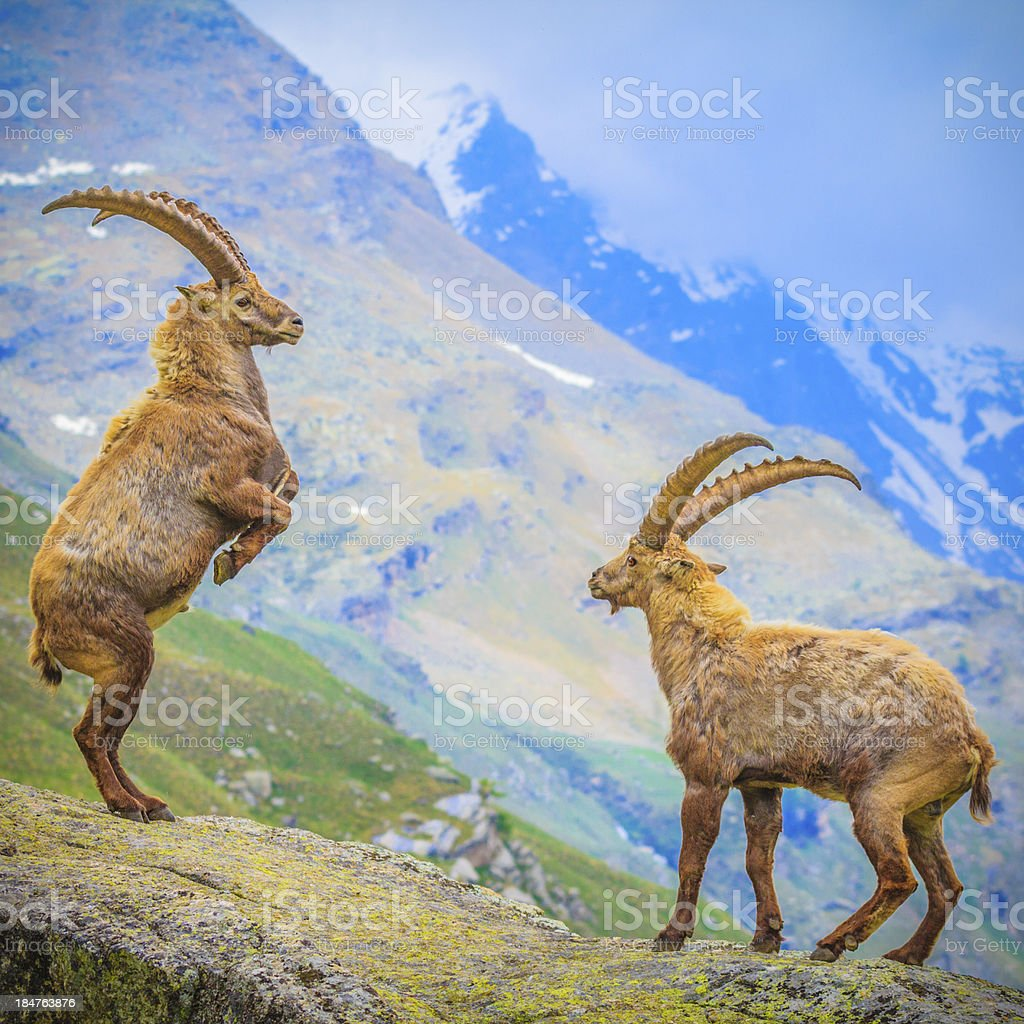 two ibexes fighting stock photo