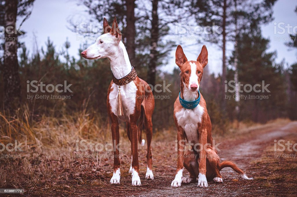 two ibizan hounds stock photo