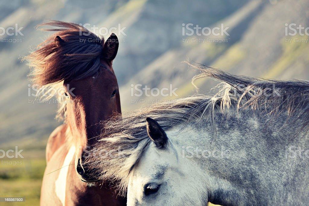 Two Iceland horses royalty-free stock photo