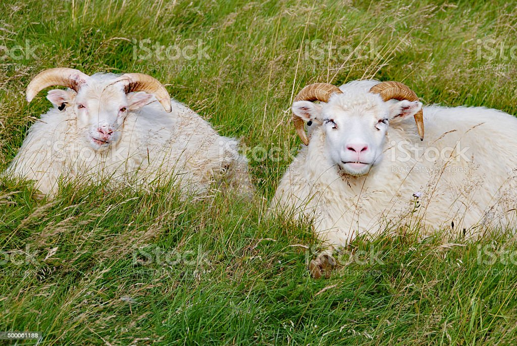 Two Icelandic sheep resting in the grass stock photo